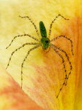 Spider on Daylily, Savannah, Georgia, USA Photographic Print by Joanne Wells