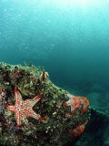 Starfish, and Sardine Panorama, Mexico Photographic Print by Tobias Bernhard