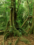Rainforest Katway Tree, Buttress Roots Photographie par Paul Franklin