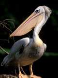 White Pelican, Everglades, Florida, USA Photographic Print by Gavriel Jecan