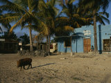 Wild Boar Wanders Through a Village on the Galapagos Islands Photographic Print by Steve Winter