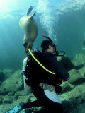 Diver with Californian Sea Lion, Mexico Photographic Print by Tobias Bernhard
