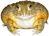 African Bullfrog South Africa Photographic Print by David M. Dennis