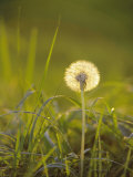 Dandelion in Evening Light, Scotland Photographic Print by Iain Sarjeant