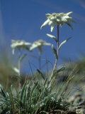 Edelweiss, Flower, Switzerland Photographic Print by Olaf Broders