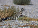 Greater Roadrunner, New Mexico Photographie par David Tipling