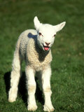 Lamb, March, Wiltshire Photographic Print by David Tipling
