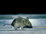 House Mouse, Mus Musculus Photographic Print by Liz Bomford