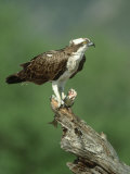 Osprey, Pandion Haliaetus Male on Branch with Fish Scotland, UK Reproduction photographique par Mark Hamblin