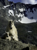 Wild Goats on Mountain, Boulder Print by Michael Brown