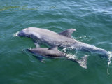 Bottlenose Dolphins Adult and Young, Honduras Photographic Print