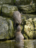 Asian Short Clawed Otters, Pair of Otters Greeting on a Waterfall, Earsham, UK Photographic Print by Elliot Neep