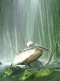 Brown Pelican, Adult, Rehab Zoo Animal Photographie par Stan Osolinski