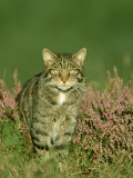 Scottish Wildcat, Felis Sylvestris Pure-Bred Male, August Highlands, Scotland Stampa fotografica di Mark Hamblin