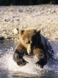 Alaskan Brown Bear, Large Male Catching Salmon in Water, Alaska Photographic Print by Daniel J. Cox