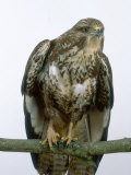 Buzzard, UK Reproduction photographique par Les Stocker