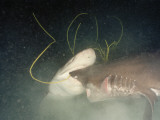 Sixgill Sharks Battle Outside of a Submersible Photographic Print by Emory Kristof
