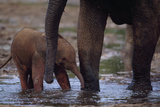 An Mother and Baby Forest Elephant (Loxodonta Africana Cyclotis) Cool Off in a Water Hole Photographic Print by Michael Nichols