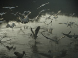 A Wood Ibis Alights Among Egrets in Mrazek Pond Photographic Print by Medford Taylor