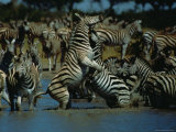 Plains Zebra Entering a Waterhole in Chobe National Park Photographic Print by Beverly Joubert