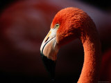 A Portrait of a Captive Greater Flamingo Photographic Print by Tim Laman