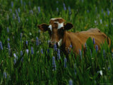 A Cow Stands in a Field of Green Grass and Purple Heather Photographic Print by Raymond Gehman