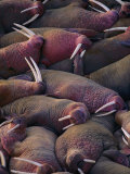 Walruses on the Beach Photographic Print