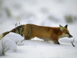 Red Fox in the Snow Photographic Print by Joel Sartore