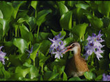 A Bird Peaks out of the Purple Gallinules Photographic Print