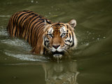 A Captive Sumatran Tiger Takes a Cooling Dip in the Water Photographic Print by Tim Laman