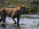 An African Cheetah Cools off in a Grassy Swamp Photographic Print by Chris Johns