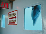 A Curious Dolphin Peeks Through a Window at the Local Aquarium Photographic Print by Joel Sartore