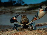 Close View of a Yabby, a Small Freshwater Crayfish Photographic Print