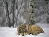 Gray Wolf in the New-Fallen Snow at the International Wolf Center Fotografisk tryk af Joel Sartore
