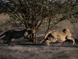 A Pair of African Cheetahs Chase Each Other Around a Tree Photographic Print by Chris Johns