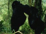 Two Gorillas Confront Each Other Photographic Print by Michael Nichols