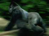 A Silverback Gorilla Runs Past the Crowds at the Zoo Atlanta Photographic Print by Michael Nichols