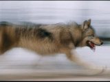 Panned Shot of a Gray Wolf in the Rose Creek Area of Yellowstone National Park Photographic Print by Joel Sartore
