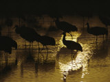 Silhouetted Greater Sandhill Cranes Photographic Print by Joel Sartore