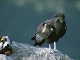 A Juvenile, Endangered California Condor Eyes a Calf Carcass Photographie par Joel Sartore
