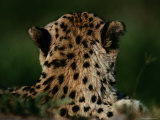 A Close View of the Back of an African Cheetahs Head Photographic Print by Chris Johns