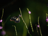 A Butterfly Feeding on a Small Purple Flower Photographic Print by Tim Laman