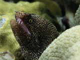 Whitemouth Moray Eel Photographic Print by George Grall