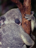 A Sleeping Koala Hugs a Branch Photographic Print by Anne Keiser