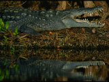 A Close View of an Endangered American Crocodile Photographic Print
