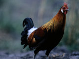 Close View of a Junglefowl Photographic Print by Michael Nichols
