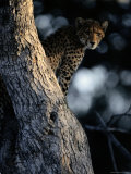 An African Cheetah Peers out from His Perch in a Large Tree Photographic Print by Chris Johns