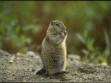 Close View of an Arctic Ground Squirrel Photographic Print by Joel Sartore