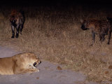 A Lioness Being Threatened by a Band of Spotted Hyenas Photographic Print by Beverly Joubert
