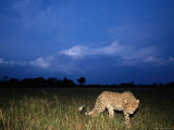 A Lone African Cheetah Prowls Through the Grass as Night Falls Photographic Print by Chris Johns